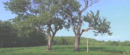 single mom優しい家族ロケ地『双子のサクランボの木』